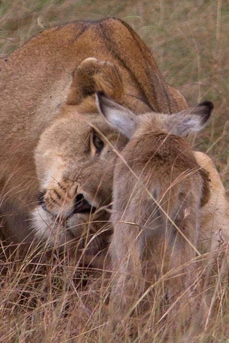 La leonessa e l'impala